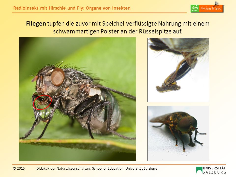 RadioInsekt mit Hirschie und Fly: Organe von Insekten © 2015Didaktik der Naturwissenschaften, School of Education, Universität Salzburg Fliegen tupfen