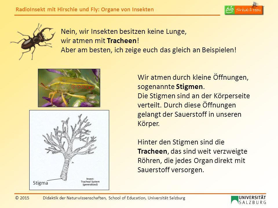 RadioInsekt mit Hirschie und Fly: Organe von Insekten © 2015Didaktik der Naturwissenschaften, School of Education, Universität Salzburg Nein, wir Insekten besitzen keine Lunge, wir atmen mit Tracheen.