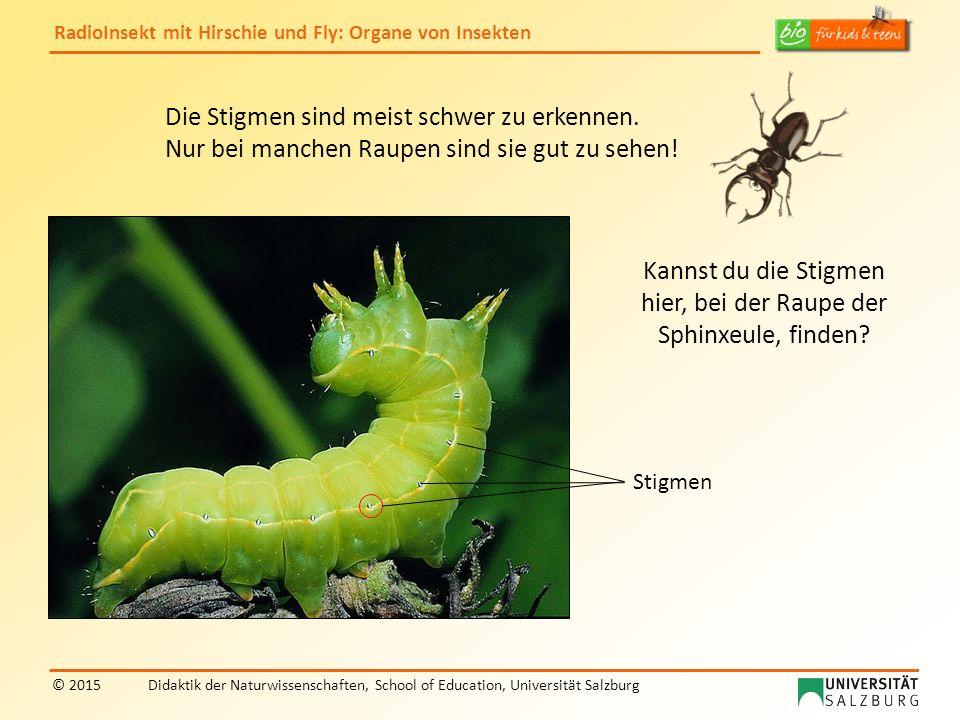 RadioInsekt mit Hirschie und Fly: Organe von Insekten © 2015Didaktik der Naturwissenschaften, School of Education, Universität Salzburg Die Stigmen sind meist schwer zu erkennen.