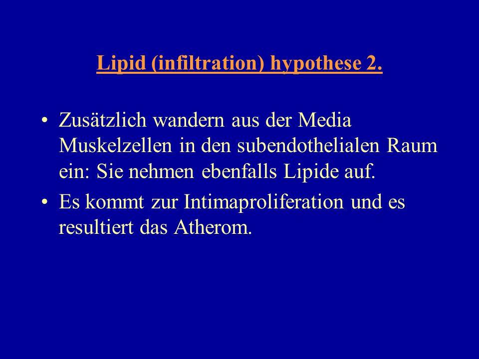 Lipid (infiltration) hypothese 2. Zusätzlich wandern aus der Media Muskelzellen in den subendothelialen Raum ein: Sie nehmen ebenfalls Lipide auf. Es