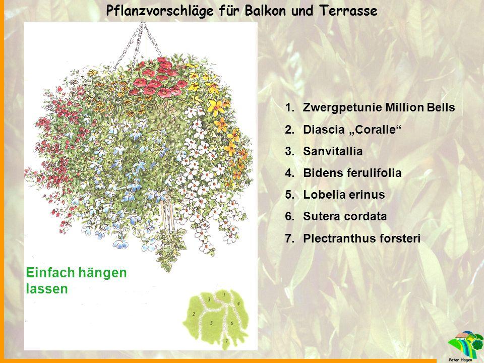 """Einfach hängen lassen 1.Zwergpetunie Million Bells 2.Diascia """"Coralle"""" 3.Sanvitallia 4.Bidens ferulifolia 5.Lobelia erinus 6.Sutera cordata 7.Plectran"""