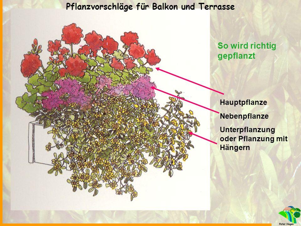 So wird richtig gepflanzt Hauptpflanze Nebenpflanze Unterpflanzung oder Pflanzung mit Hängern Pflanzvorschläge für Balkon und Terrasse