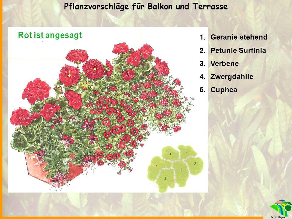 Rot ist angesagt 1.Geranie stehend 2.Petunie Surfinia 3.Verbene 4.Zwergdahlie 5.Cuphea Pflanzvorschläge für Balkon und Terrasse