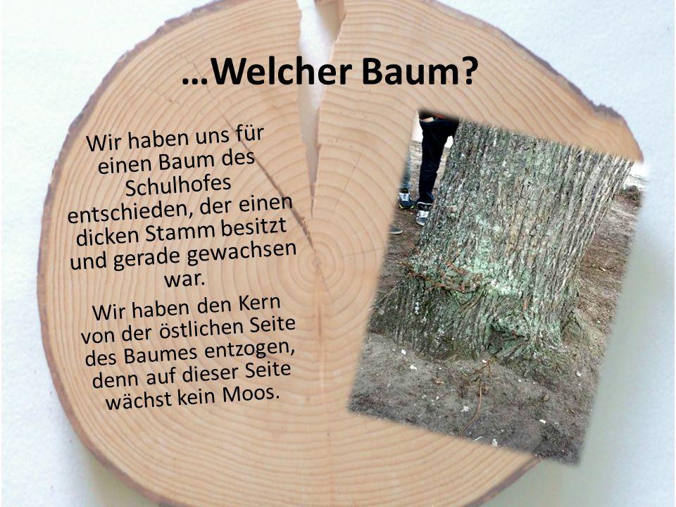 …Welcher Baum? Wir haben uns für einen Baum des Schulhofes entschieden, der einen dicken Stamm besitzt und gerade gewachsen war. Wir haben den Kern vo