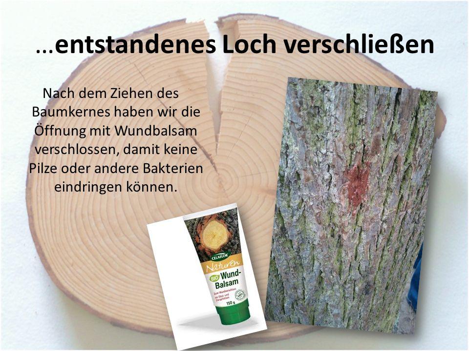 …entstandenes Loch verschließen Nach dem Ziehen des Baumkernes haben wir die Öffnung mit Wundbalsam verschlossen, damit keine Pilze oder andere Bakterien eindringen können.