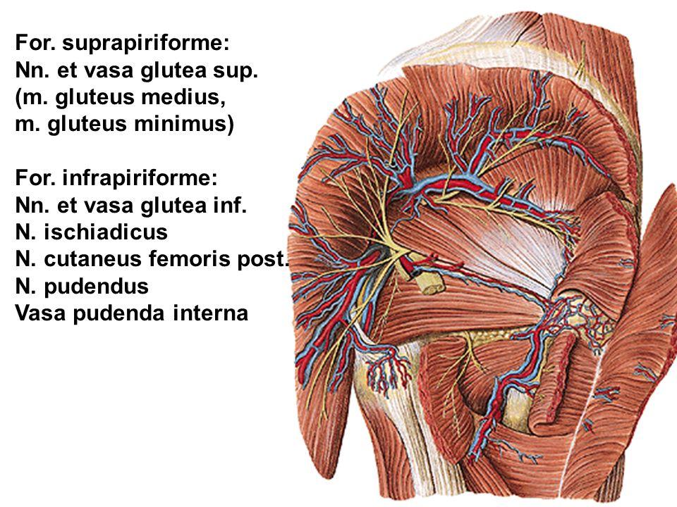 For. suprapiriforme: Nn. et vasa glutea sup. (m. gluteus medius, m. gluteus minimus) For. infrapiriforme: Nn. et vasa glutea inf. N. ischiadicus N. cu