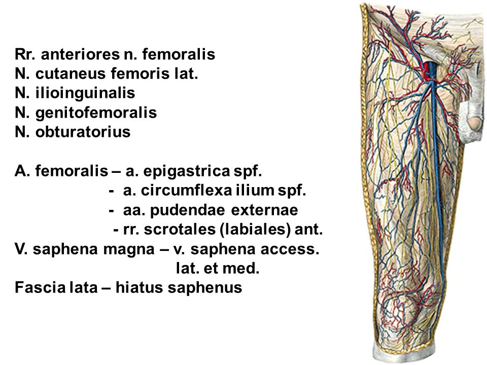 Rr. anteriores n. femoralis N. cutaneus femoris lat. N. ilioinguinalis N. genitofemoralis N. obturatorius A. femoralis – a. epigastrica spf. - a. circ