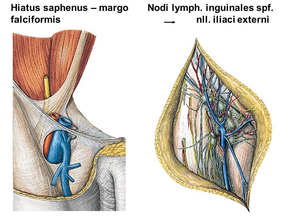 Hiatus saphenus – margo Nodi lymph. inguinales spf. falciformis nll. iliaci externi