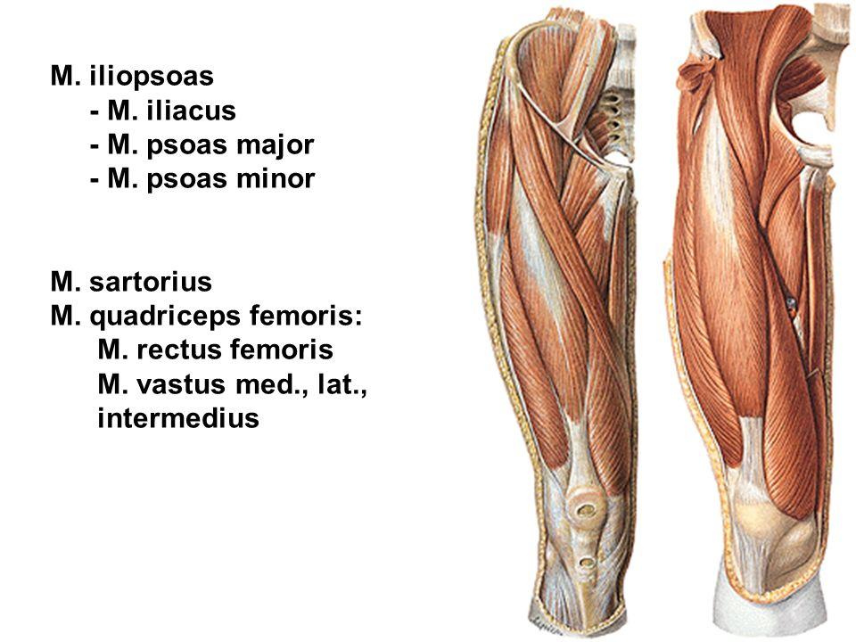 M. iliopsoas - M. iliacus - M. psoas major - M. psoas minor M. sartorius M. quadriceps femoris: M. rectus femoris M. vastus med., lat., intermedius