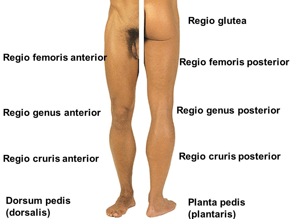 Regio femoris anterior Regio genus anterior Regio cruris anterior Dorsum pedis (dorsalis) Regio femoris posterior Regio glutea Regio genus posterior Regio cruris posterior Planta pedis (plantaris)