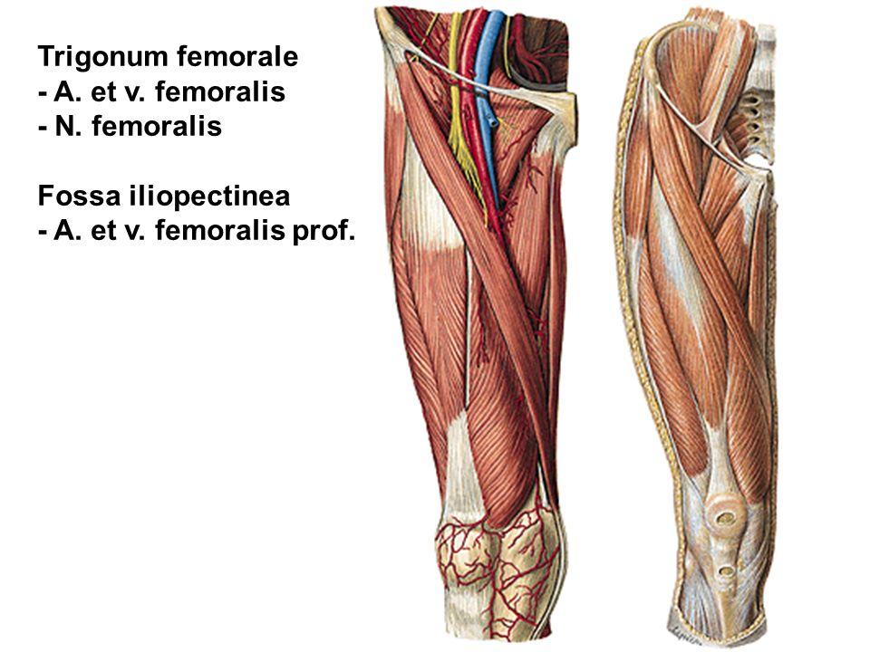 Trigonum femorale - A. et v. femoralis - N. femoralis Fossa iliopectinea - A. et v. femoralis prof.