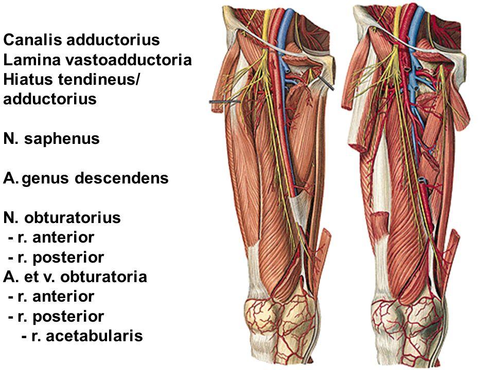 Canalis adductorius Lamina vastoadductoria Hiatus tendineus/ adductorius N.