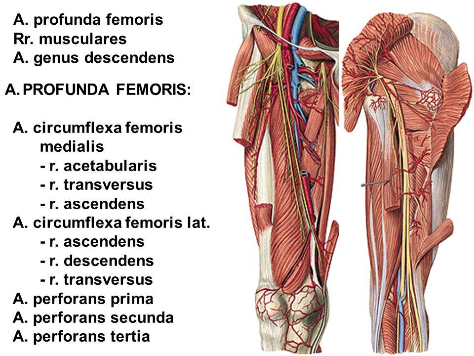A.PROFUNDA FEMORIS: A. circumflexa femoris medialis - r. acetabularis - r. transversus - r. ascendens A. circumflexa femoris lat. - r. ascendens - r.
