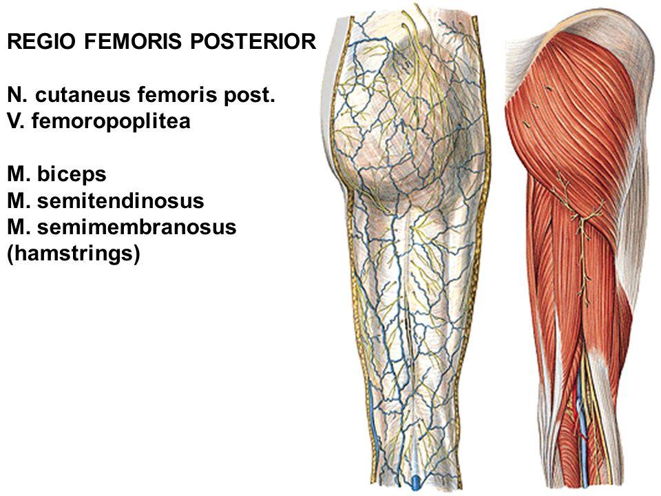 N. cutaneus femoris post. V. femoropoplitea M. biceps M. semitendinosus M. semimembranosus (hamstrings)