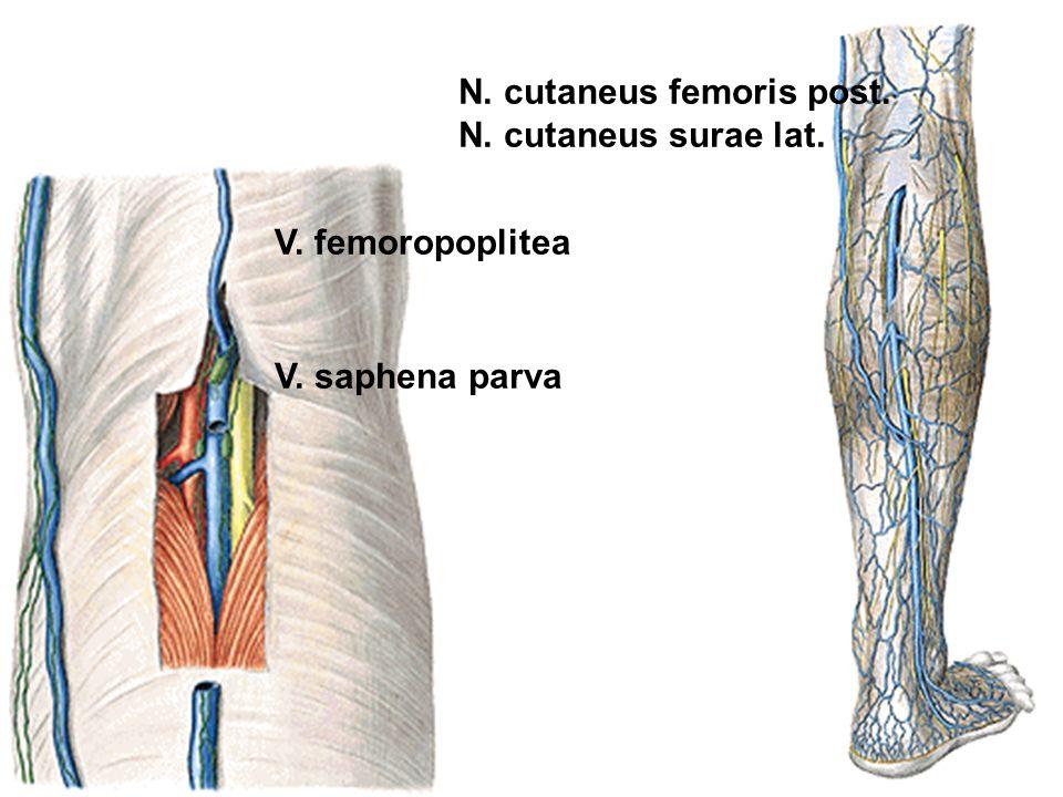 V. femoropoplitea V. saphena parva N. cutaneus femoris post. N. cutaneus surae lat.