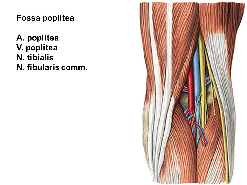 A. poplitea V. poplitea N. tibialis N. fibularis comm.