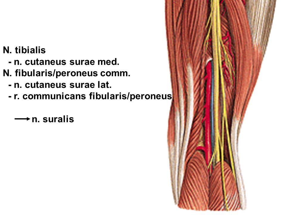 N. tibialis - n. cutaneus surae med. N. fibularis/peroneus comm. - n. cutaneus surae lat. - r. communicans fibularis/peroneus n. suralis