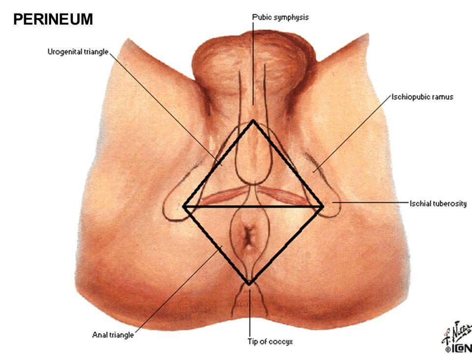 A.tibialis post. - rr. musculares - r. circumflexus fibulae - a.