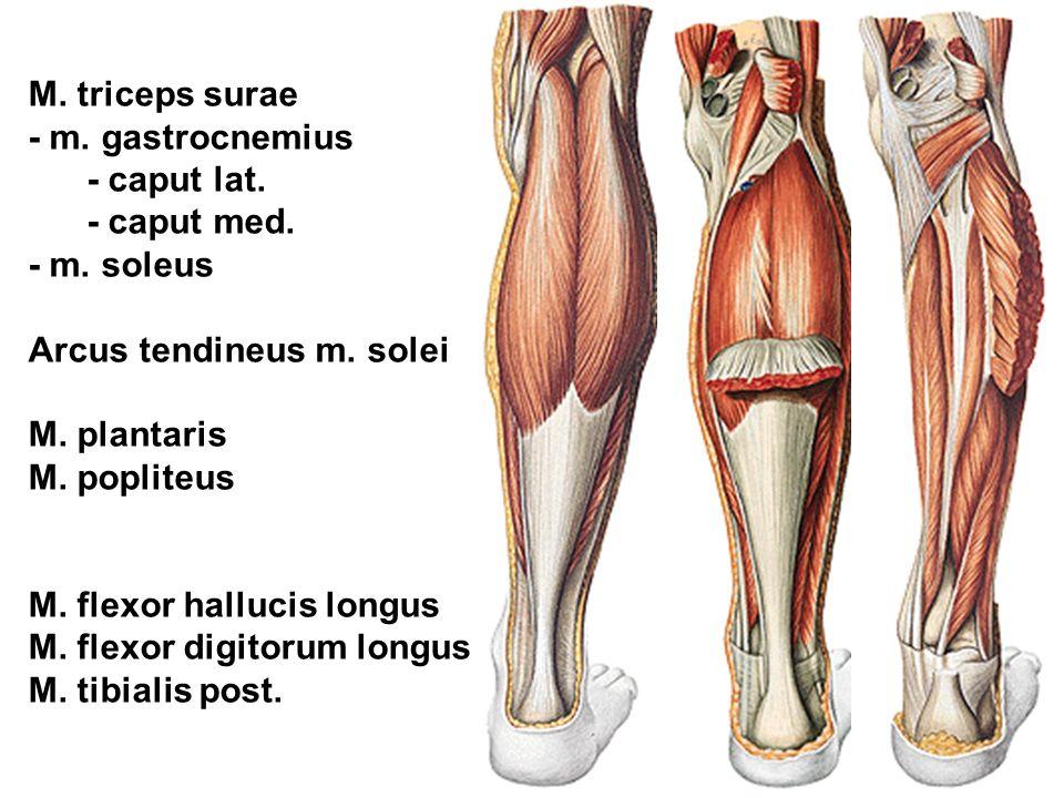 M. triceps surae - m. gastrocnemius - caput lat. - caput med. - m. soleus Arcus tendineus m. solei M. plantaris M. popliteus M. flexor hallucis longus