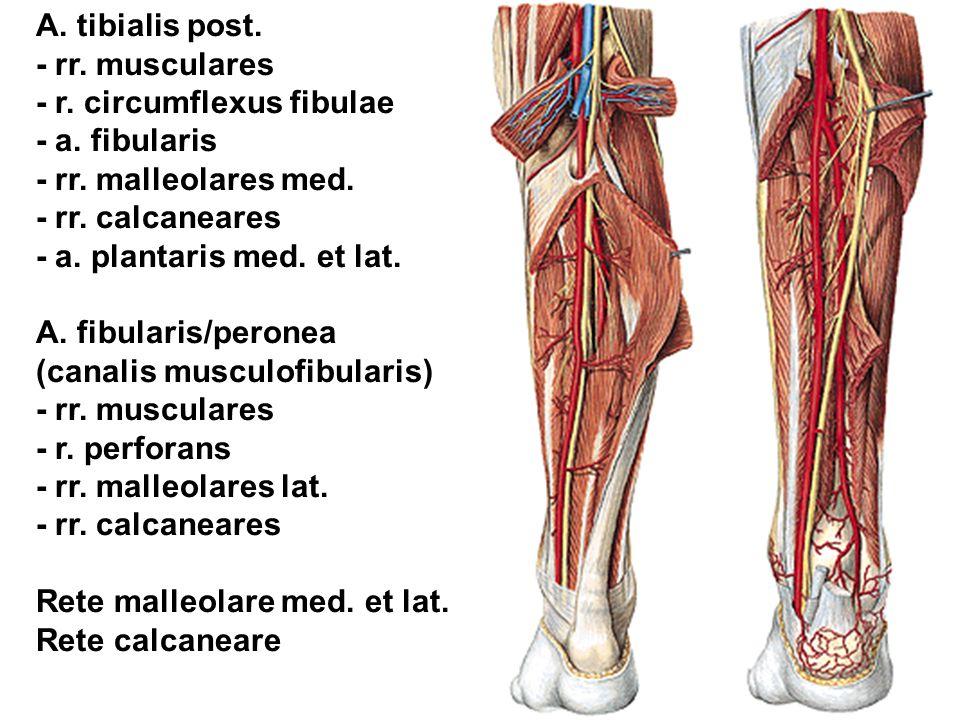 A. tibialis post. - rr. musculares - r. circumflexus fibulae - a. fibularis - rr. malleolares med. - rr. calcaneares - a. plantaris med. et lat. A. fi