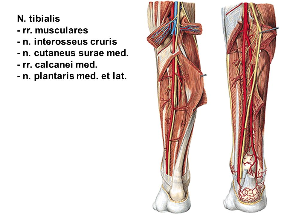 N. tibialis - rr. musculares - n. interosseus cruris - n. cutaneus surae med. - rr. calcanei med. - n. plantaris med. et lat.