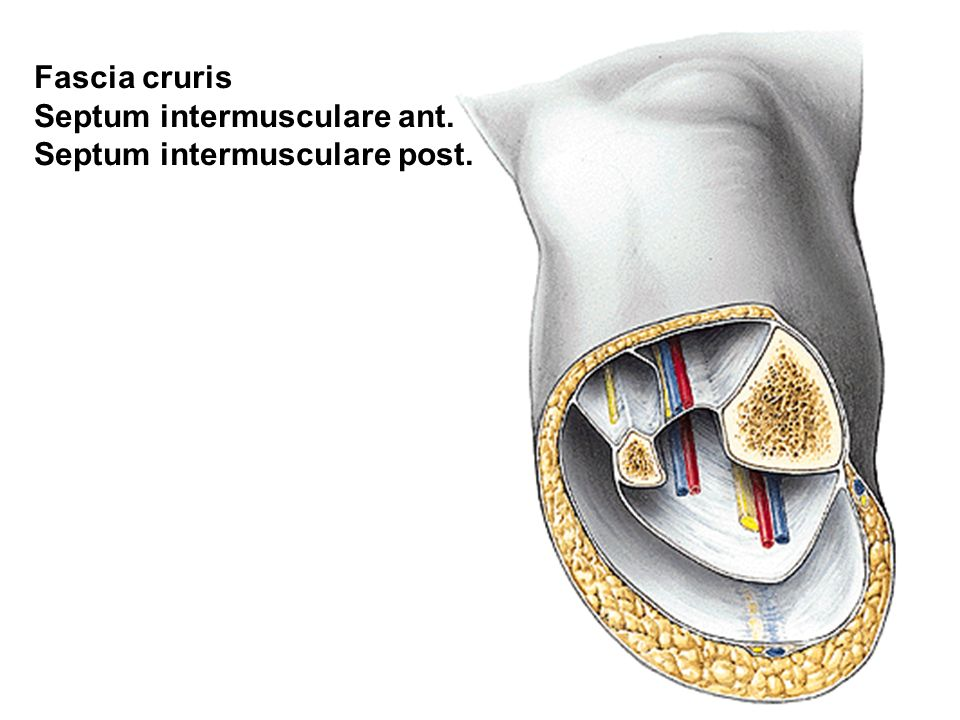 Fascia cruris Septum intermusculare ant. Septum intermusculare post.