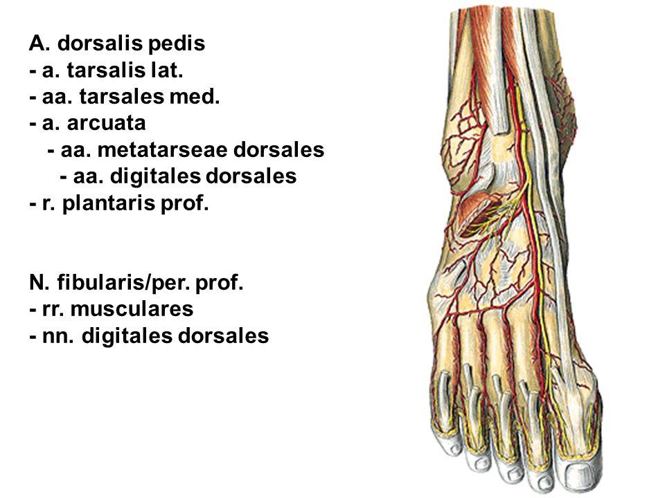 A. dorsalis pedis - a. tarsalis lat. - aa. tarsales med. - a. arcuata - aa. metatarseae dorsales - aa. digitales dorsales - r. plantaris prof. N. fibu