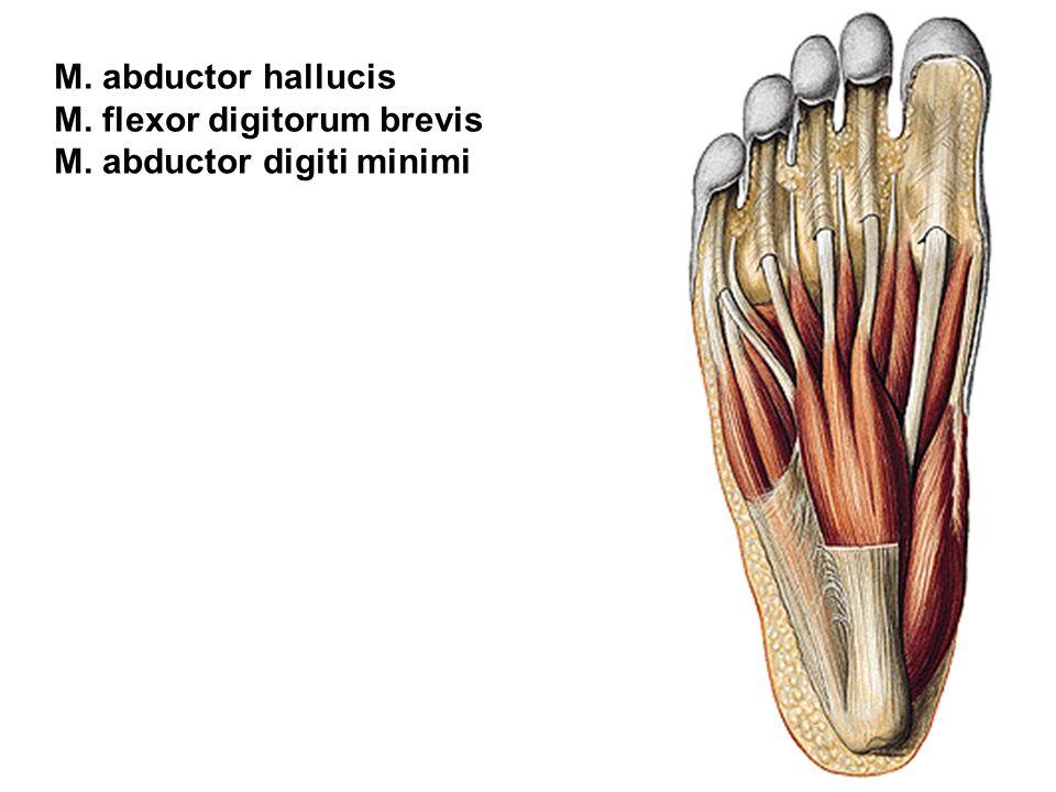 M. abductor hallucis M. flexor digitorum brevis M. abductor digiti minimi