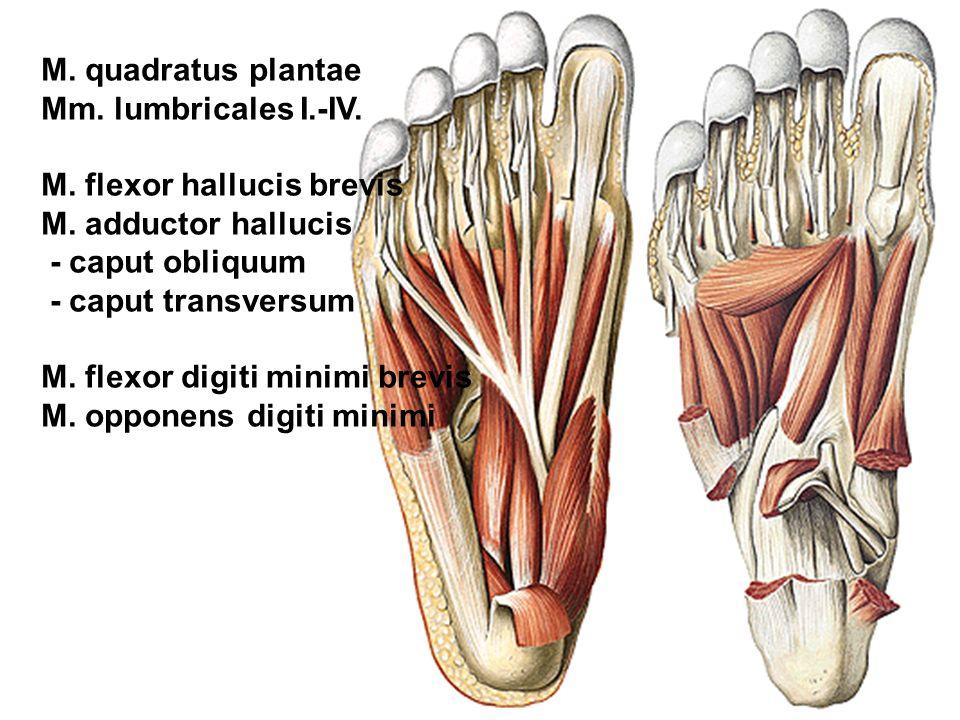 M. quadratus plantae Mm. lumbricales I.-IV. M. flexor hallucis brevis M. adductor hallucis - caput obliquum - caput transversum M. flexor digiti minim