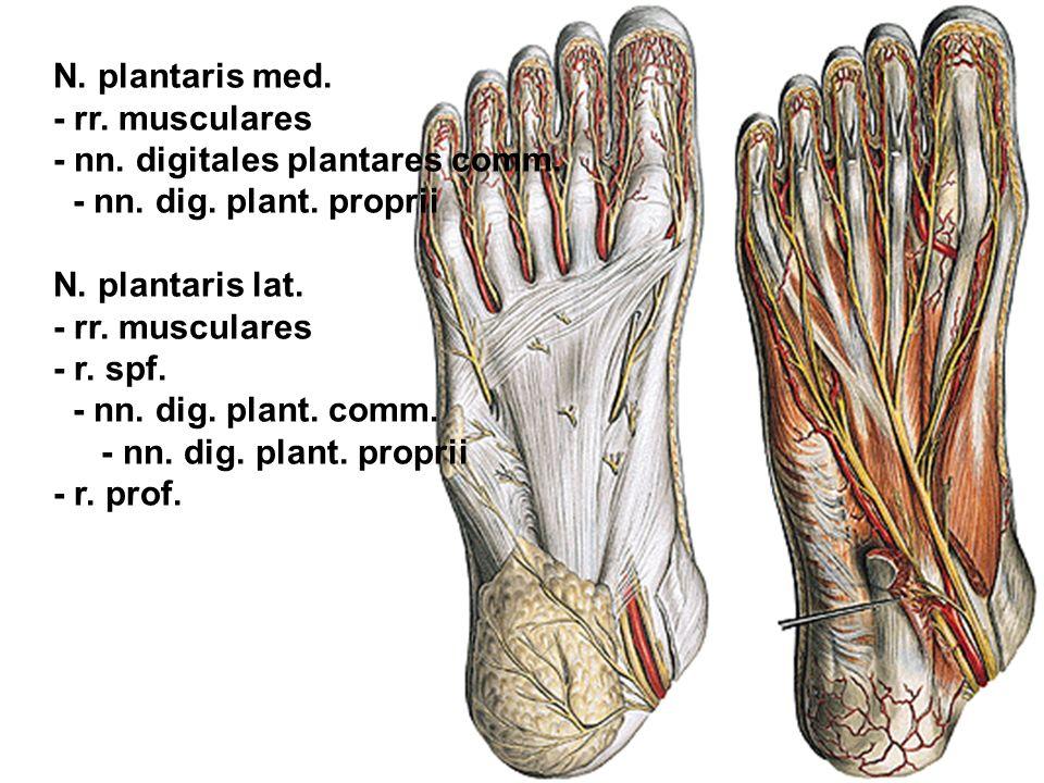 N. plantaris med. - rr. musculares - nn. digitales plantares comm. - nn. dig. plant. proprii N. plantaris lat. - rr. musculares - r. spf. - nn. dig. p