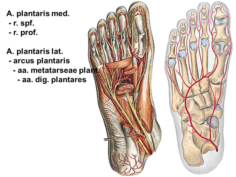 A. plantaris med. - r. spf. - r. prof. A. plantaris lat. - arcus plantaris - aa. metatarseae plant. - aa. dig. plantares