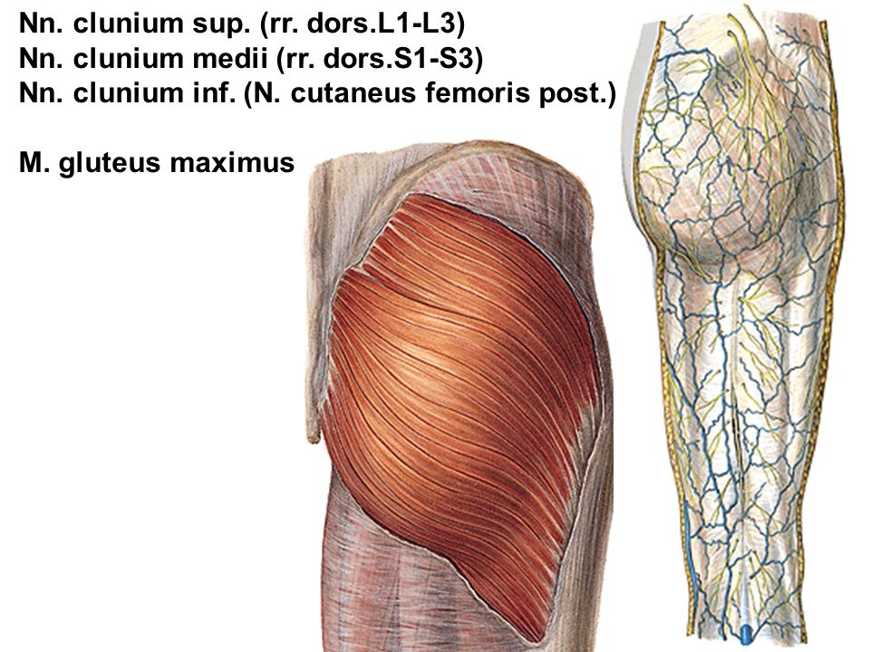 Nn. clunium sup. (rr. dors.L1-L3) Nn. clunium medii (rr.