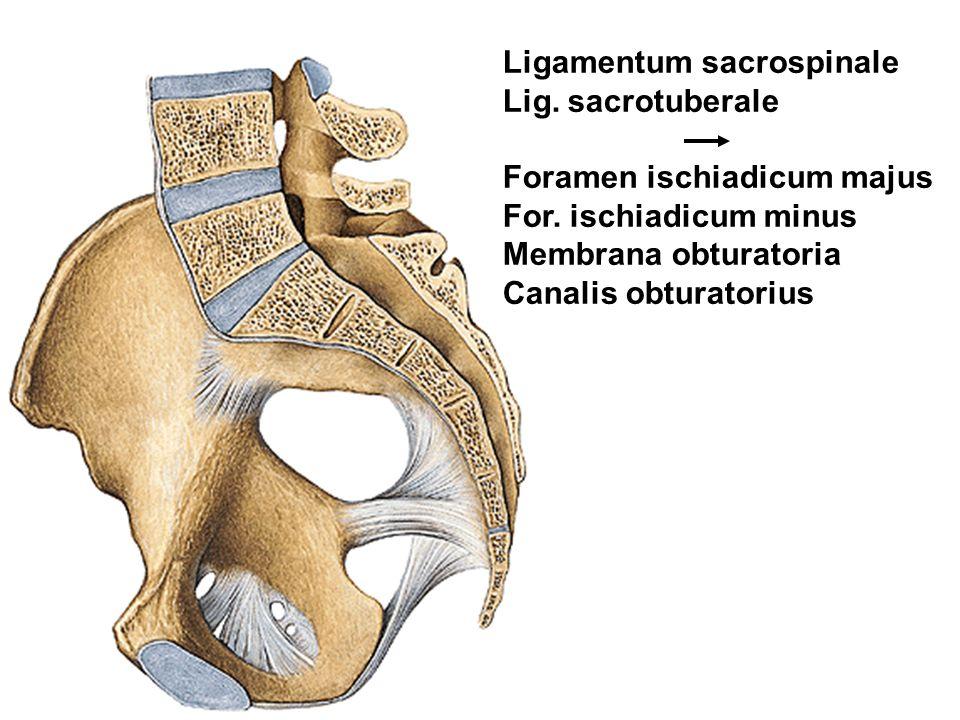 Ligamentum sacrospinale Lig. sacrotuberale Foramen ischiadicum majus For. ischiadicum minus Membrana obturatoria Canalis obturatorius