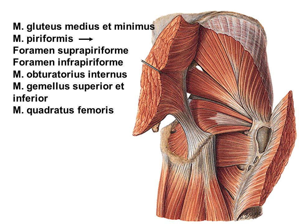 M. gluteus medius et minimus M. piriformis Foramen suprapiriforme Foramen infrapiriforme M. obturatorius internus M. gemellus superior et inferior M.