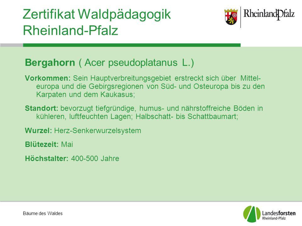 Bäume des Waldes Zertifikat Waldpädagogik Rheinland-Pfalz Bergahorn ( Acer pseudoplatanus L.) Vorkommen: Sein Hauptverbreitungsgebiet erstreckt sich über Mittel- europa und die Gebirgsregionen von Süd- und Osteuropa bis zu den Karpaten und dem Kaukasus; Standort: bevorzugt tiefgründige, humus- und nährstoffreiche Böden in kühleren, luftfeuchten Lagen; Halbschatt- bis Schattbaumart; Wurzel: Herz-Senkerwurzelsystem Blütezeit: Mai Höchstalter: 400-500 Jahre