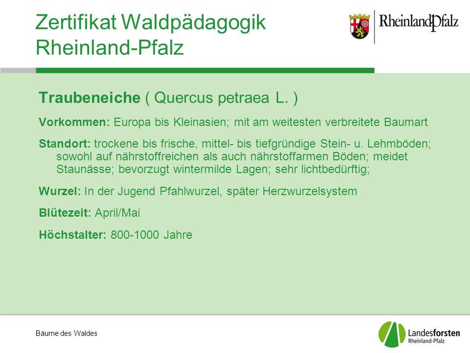 Bäume des Waldes Zertifikat Waldpädagogik Rheinland-Pfalz Traubeneiche ( Quercus petraea L. ) Vorkommen: Europa bis Kleinasien; mit am weitesten verbr