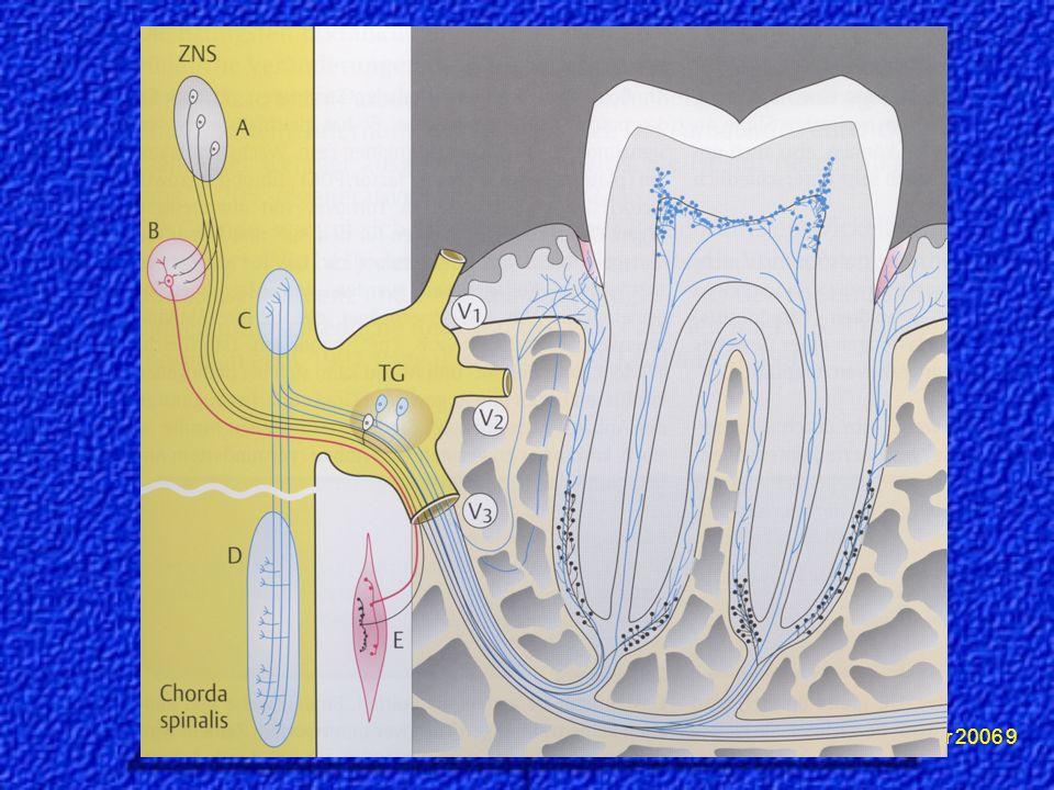 Dr.Meierhöfer 2006 10 Mechanorezeptoren mit Zellkernen im trigeminalen Ganglion.