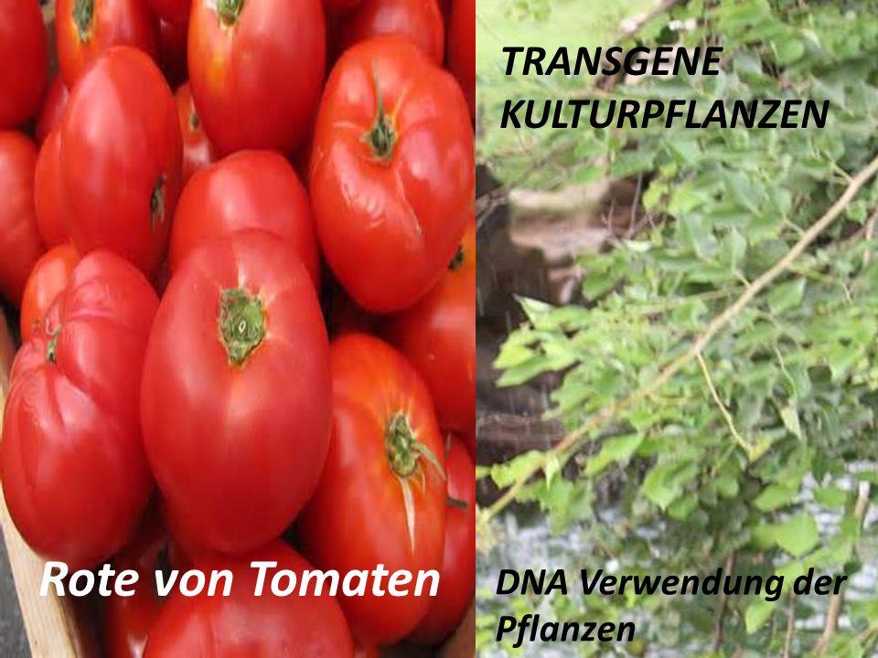 TRANSGENE KULTURPFLANZEN DNA Verwendung der Pflanzen Rote von Tomaten