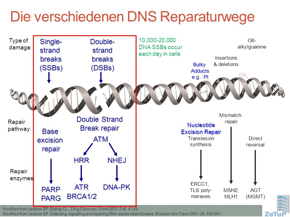 Die verschiedenen DNS Reparaturwege Modified from Jackson SP, Bishop CL. Drug Discovery World 2003; Fall: 41-45. Modified from Jackson SP. Detecting,