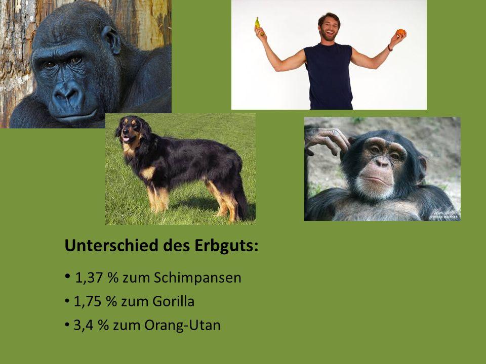 Unterschied des Erbguts: 1,37 % zum Schimpansen 1,75 % zum Gorilla 3,4 % zum Orang-Utan