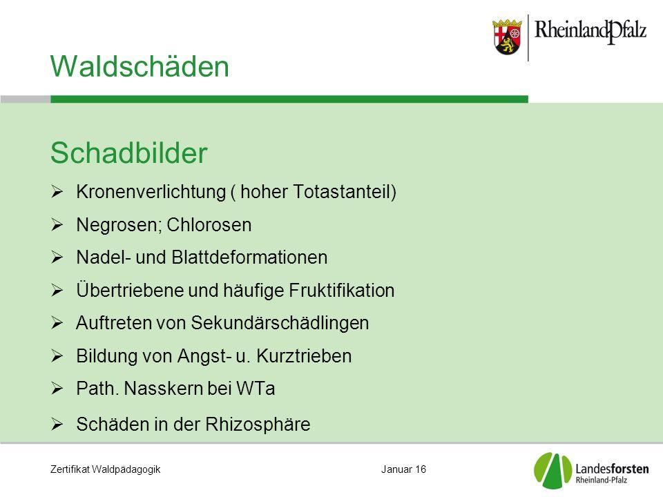 Zertifikat WaldpädagogikJanuar 16 Waldschäden Schadbilder  Kronenverlichtung ( hoher Totastanteil)  Negrosen; Chlorosen  Nadel- und Blattdeformatio