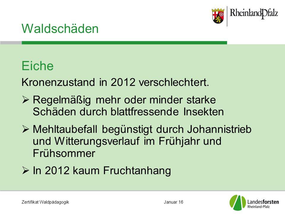 Zertifikat WaldpädagogikJanuar 16 Waldschäden Eiche Kronenzustand in 2012 verschlechtert.  Regelmäßig mehr oder minder starke Schäden durch blattfres