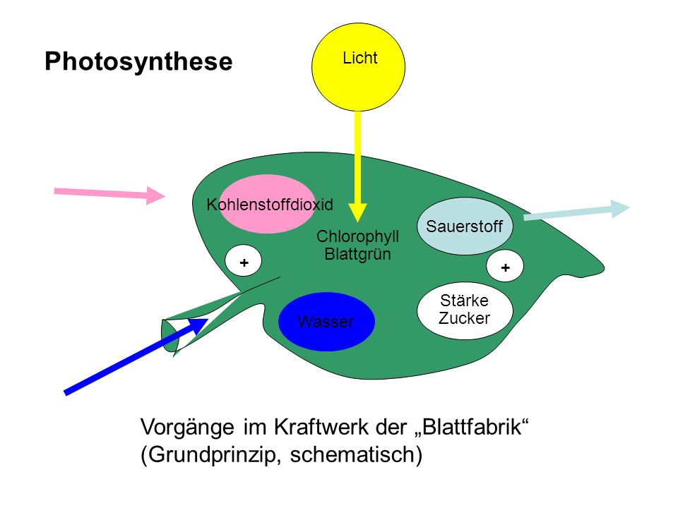 """Wasser Kohlenstoffdioxid Chlorophyll Blattgrün Sauerstoff Stärke Zucker + + Licht Photosynthese Vorgänge im Kraftwerk der """"Blattfabrik (Grundprinzip, schematisch)"""