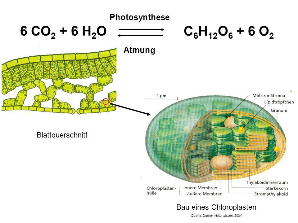 C 6 H 12 O 6 + 6 O 2 Atmung Photosynthese 6 CO 2 + 6 H 2 O Bau eines Chloroplasten Quelle: Duden Abiturwissen, 2004 Blattquerschnitt