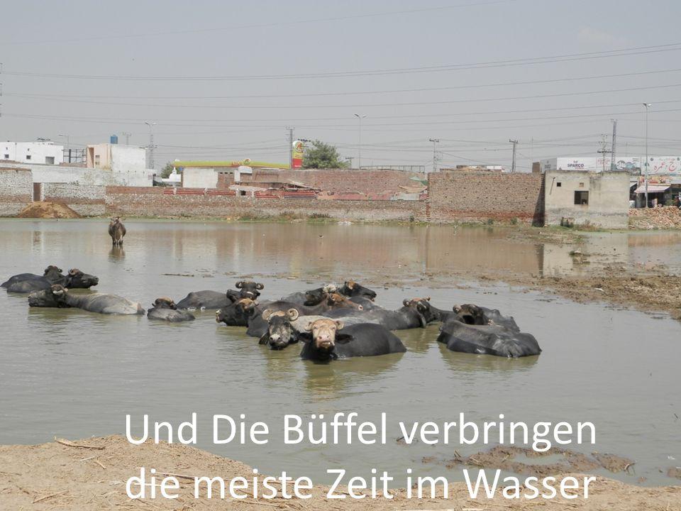 Und Die Büffel verbringen die meiste Zeit im Wasser