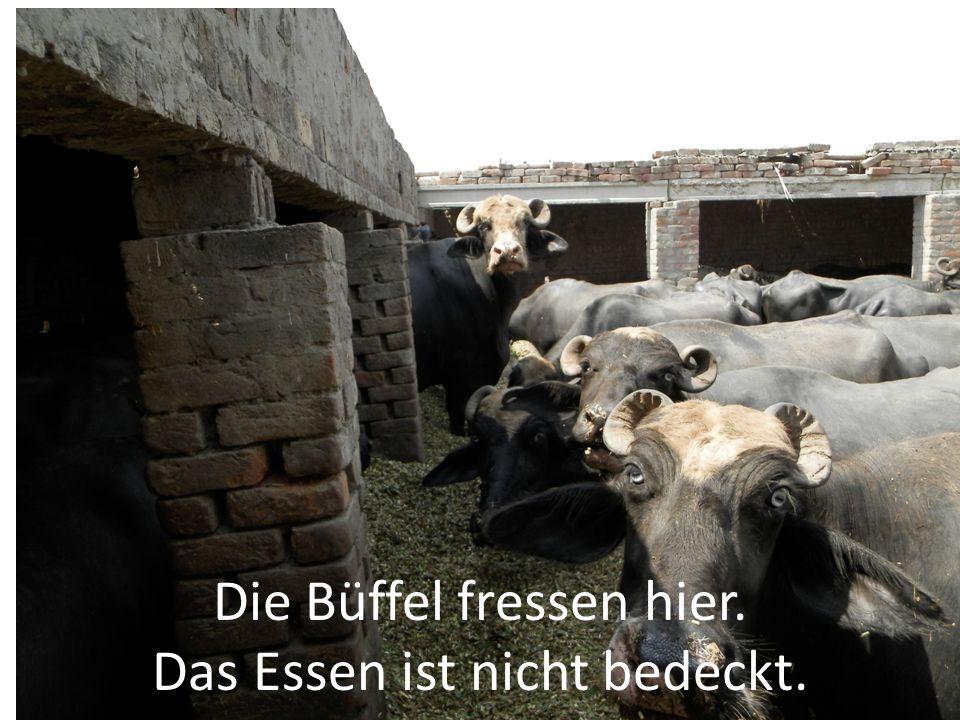 Die Büffel fressen hier. Das Essen ist nicht bedeckt.