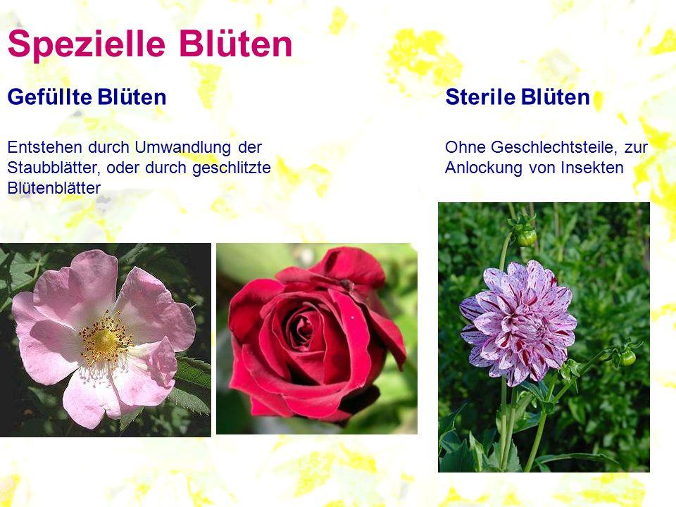 Spezielle Blüten Gefüllte Blüten Entstehen durch Umwandlung der Staubblätter, oder durch geschlitzte Blütenblätter Sterile Blüten Ohne Geschlechtsteil