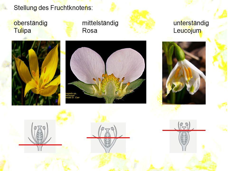 Stellung des Fruchtknotens: oberständigmittelständigunterständig TulipaRosaLeucojum