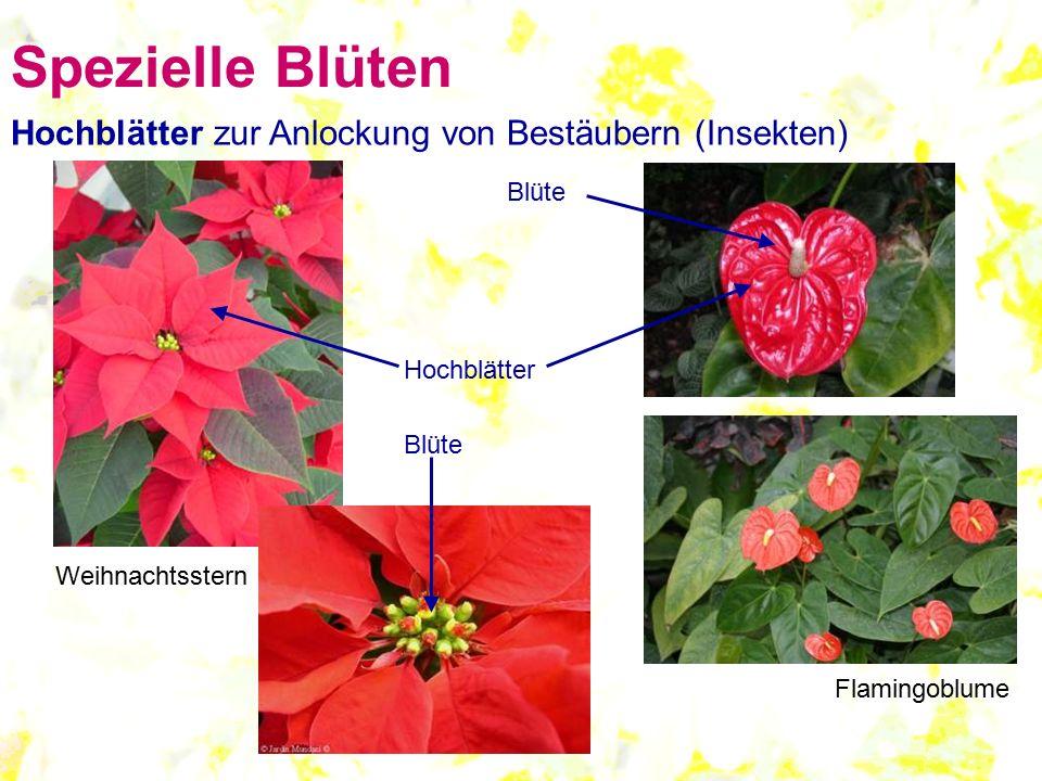 Hochblätter zur Anlockung von Bestäubern (Insekten) Hochblätter Blüte Weihnachtsstern Flamingoblume Blüte Spezielle Blüten