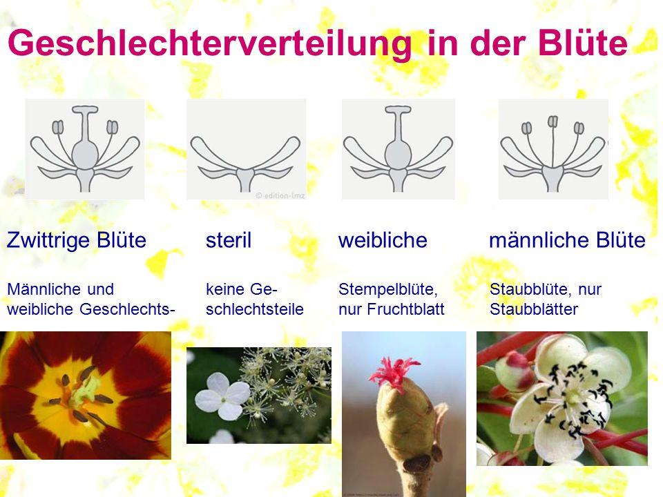 Geschlechterverteilung in der Blüte Zwittrige Blütesterilweibliche männliche Blüte Männliche und keine Ge-Stempelblüte, Staubblüte, nur weibliche Gesc